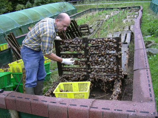Ramassage des escargots