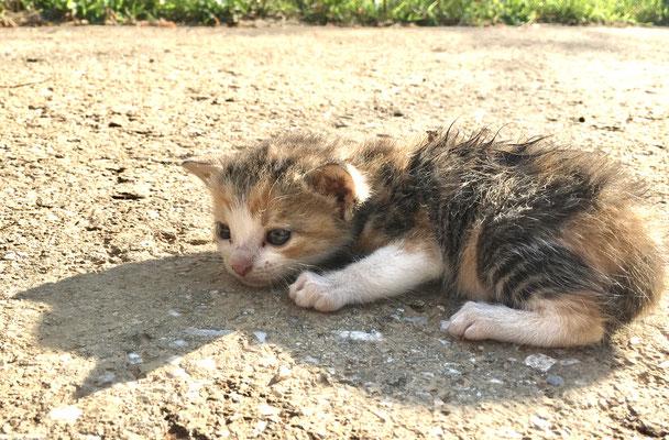 Wir glauben, das Kätzchen hat seine Mutter verloren, also legten wir es in den Schatten, gaben ihm Wasser und verständigten den Bauer