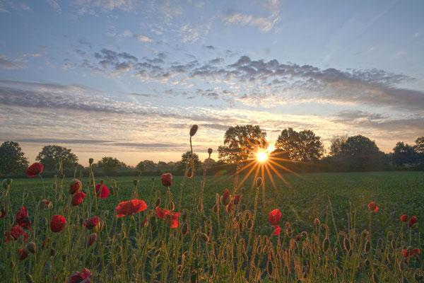 Mohnblumen bei Sonnenaufgang
