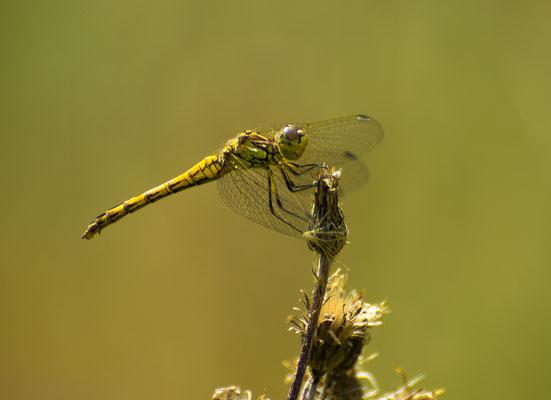 Libelle auf der Distelwiese, Foto: Karl Polland