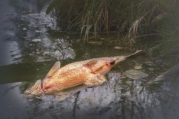 Bild 03: Da liegt ein toter Fisch im Wasser