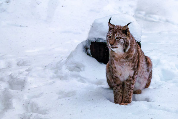 Luchs im Schnee (2), Foto: Elke Englmair