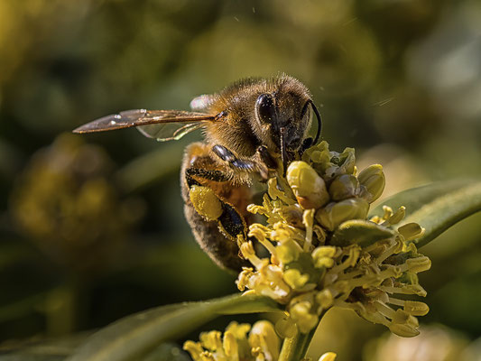Bild 05: Biene