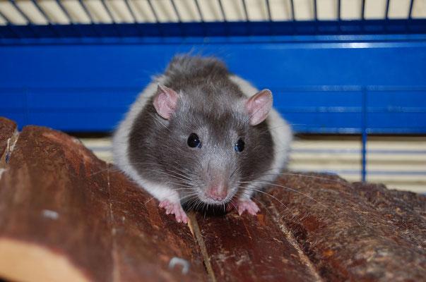 Ratte, Foto: Bernhard Czichon