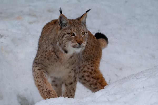 Luchs im Schnee (1), Foto: Josef Beinrucker