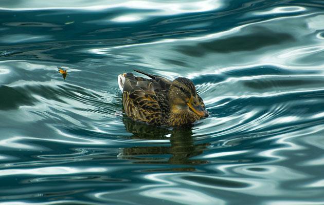 Ente im Starnberger See, Foto: Karl Polland