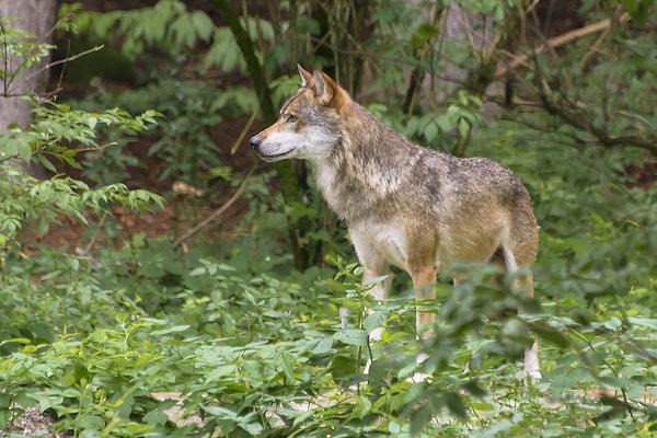Wolf, Foto: Bernhard Lang