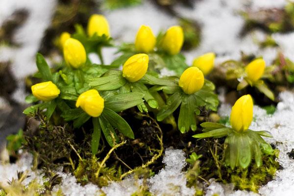 Erste Frühlingsboten, Foto: Christina Bäumler