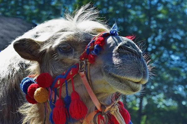 Kamel, Foto: Dieter Neumann