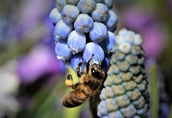 Bild 03; Fleißiges Bienchen, Foto: Margareta Czichon