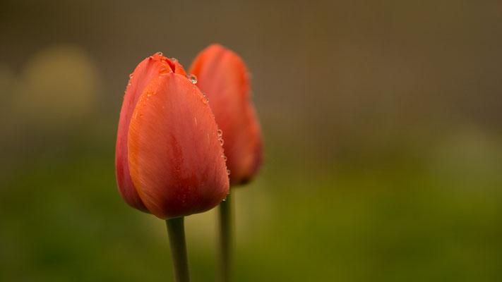 Tulpe im Regen, Foto: Sebastian Reiter
