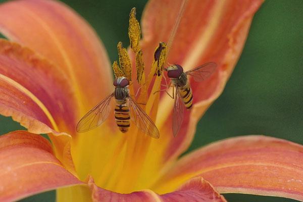 Schwebfliegen; Foto: Dieter Neumann