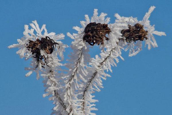 Winterblumen, Foto: Annelies Neumann