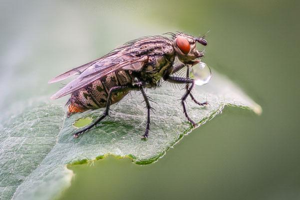 Fliege mit Verdauungstropfen, Foto: Günter Klein