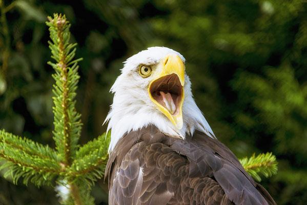 Bild 03: Der Ruf des Adlers
