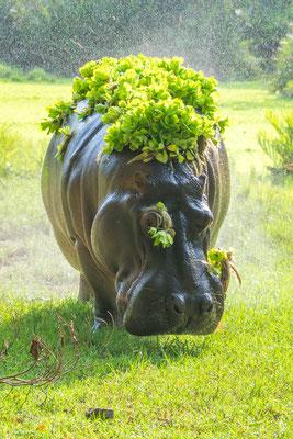 Hippo beim Markieren, Foto: Rosi Polland
