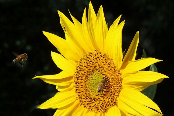 Sonnenblume, Foto: Annelies Neumann