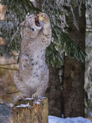 Bild 05: Luchs (Wildpark Mehlmeisel)