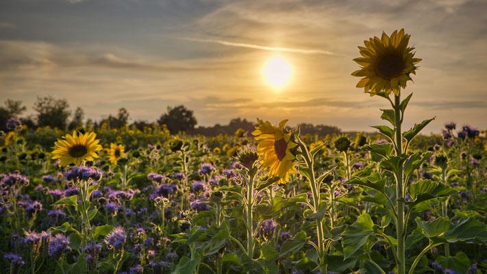 Bienenweide in Gelb und Lila; Foto: Josef Beinrucker