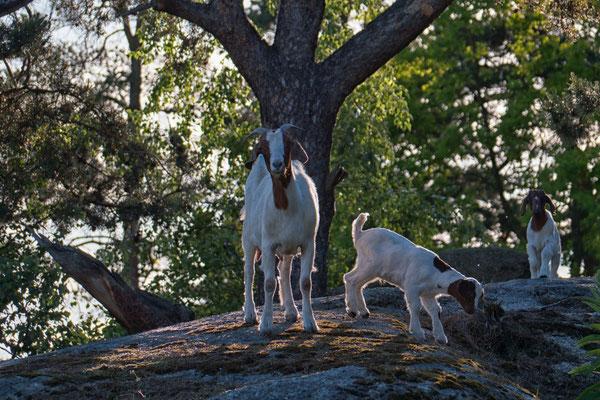 Ziegen auf dem Schlossberg, Foto: Elke Englmair