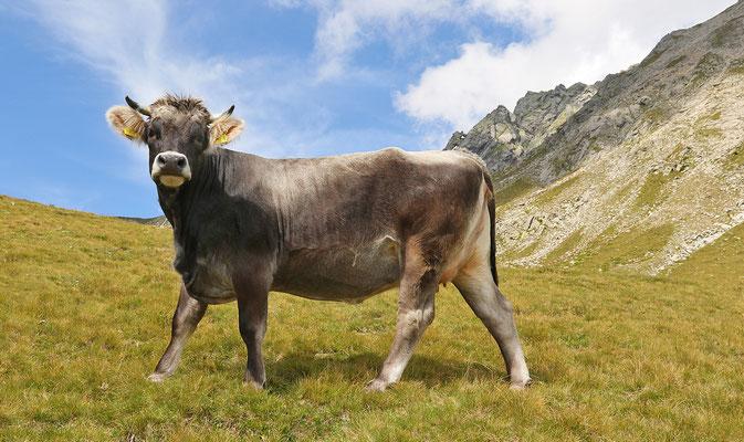 Kuh, Foto:  Helmut Meier