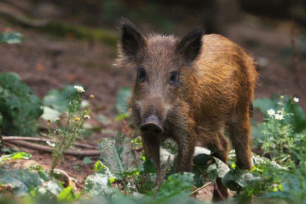 kleines wildes Schweinchen, Foto: Uwe Kragl