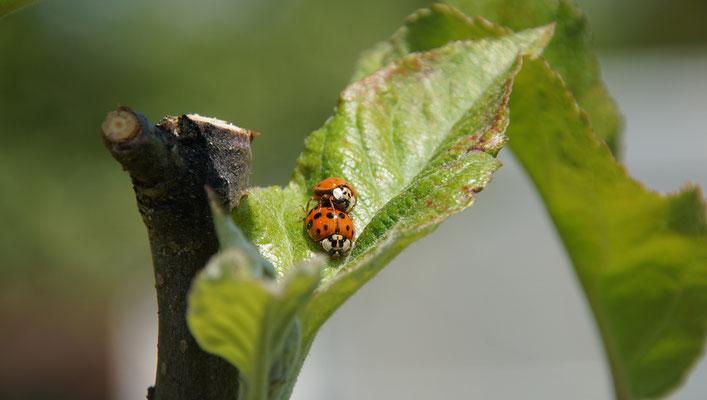 Bild 03: Frühling bei den Marienkäfern