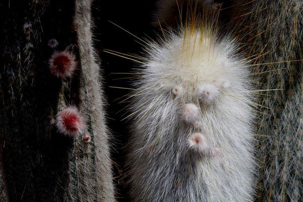 Kaktusgeist, Foto: Annelies Neumann