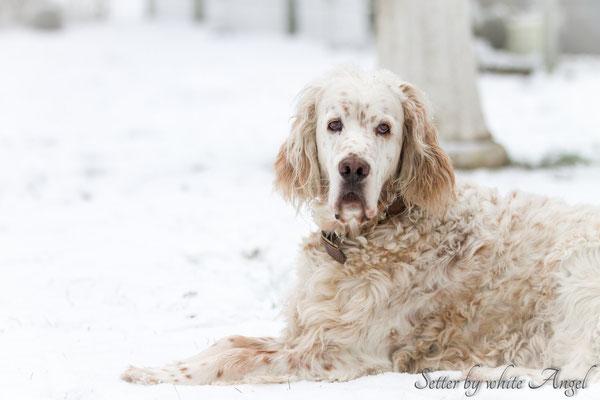 Baro posiert im Schnee. Ein stolzer Setter.