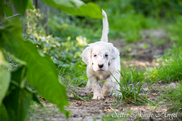 English Setterleben Juli 2016 | Setter by white Angel | www.angel-setter.de