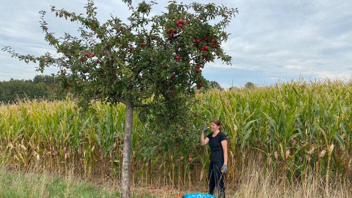 Äpfel ernten im Herbst