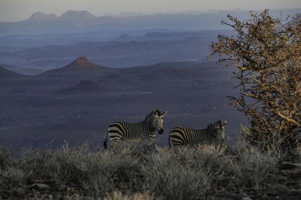 Damaraland - Zebra di montagna