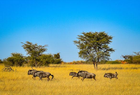Gnu nel Deserto del Kalahari