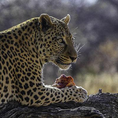 Okonjima - il pranzo del leopardo