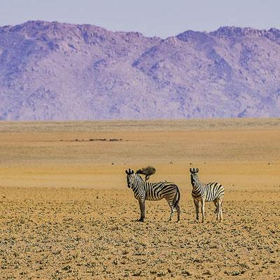 Namibia - Zebre