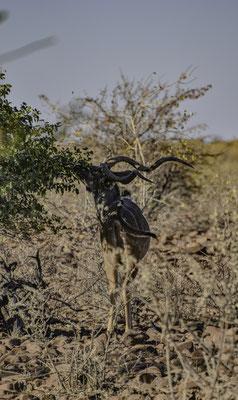 Damaraland  - Kudu