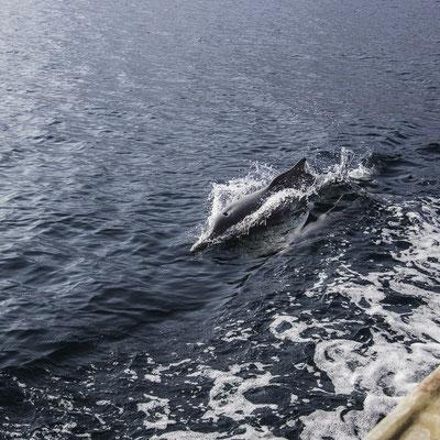 Delfini nei fiordi dell'Oman