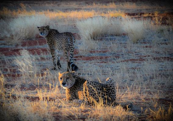 Cheetah feeding ... nel Deserto del Kalahari