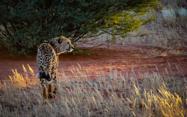 Ghepardo nel Deserto del Kalahari