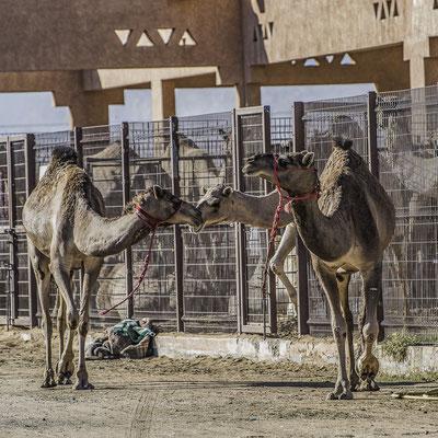 Emirati Arabi - Suq dei Cammelli di Al Ain