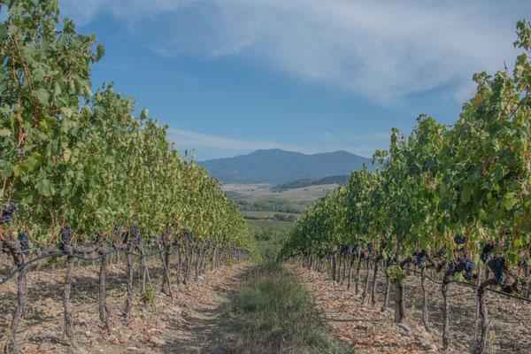 I meravigliosi vitigni della Toscana