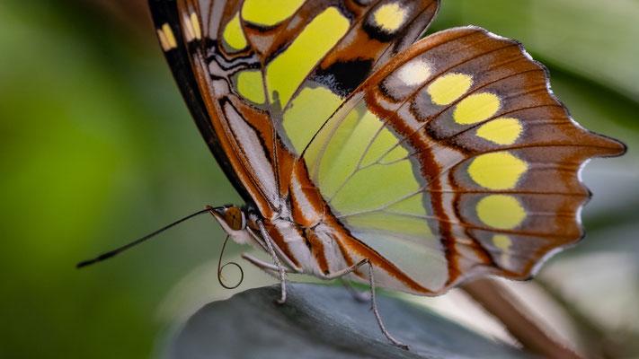 Schmetterling; Foto: iris Blümling