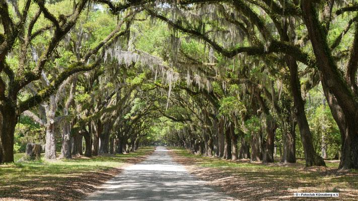 Eichenbaumallee in Savannah; Foto: Rudi Franck