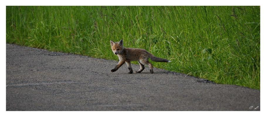 Kleiner Fuchs auf Entdeckungstour