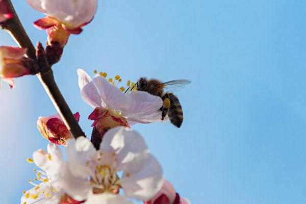Aprikosenblüten; Foto: Helmut Heidinger