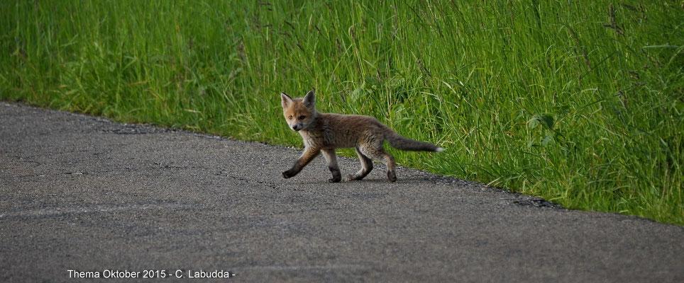 Junger Fuchs; Foto: Catherine Labudda