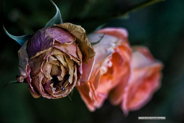 drei Rosen,   Foto: Hubert Reichenbach