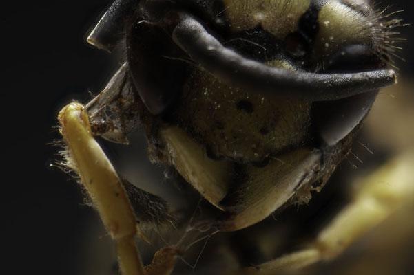 Beißwerkzeug einer Wespe, Fokusstacking; Foto: Michael Paiano