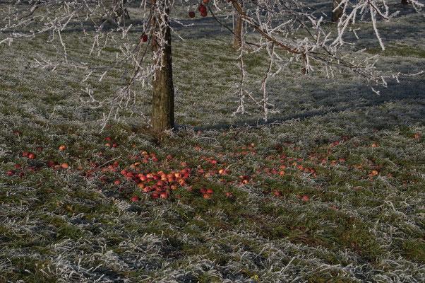 Letzte Früchte im Baumgarten; Foto: Fred Bischoff