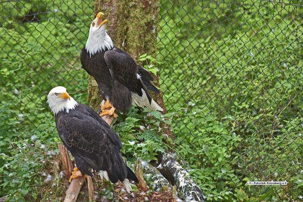 verletzte Seeadler in einem Tierpark auf Sitka; Foto: Rudi Franck